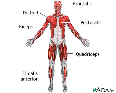 Simplified Overview of Muscles.